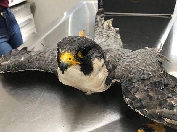 Falcão Peregrino resgatado e salvo pela Clinica Vet Life